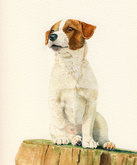 'Maddy' the Jack Russell Terrier