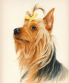 'Chase' the Yorkshire Terrier